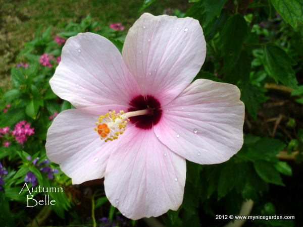 My tropical plants finder hibiscus rosa sinensis cultivars single hibiscus rosa sinensis cultivars single flower light pink with red eye mightylinksfo