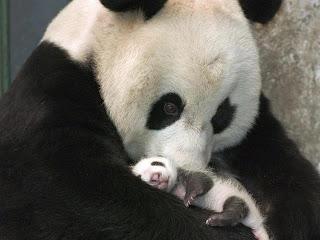 bebe oso panda con su mama