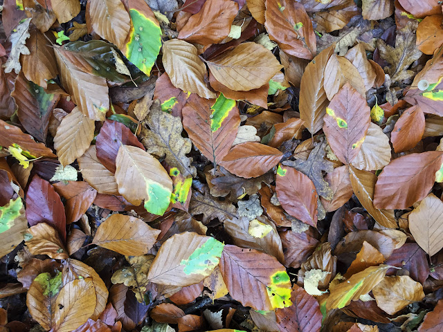 Beech leaves on the ground on Hayes Common, 27 October 2015.