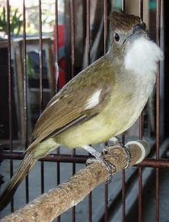 Tips Membedakan Burung Kapas Tembak Jantan dan Betina