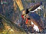 Gemenci fekete gólya kamera