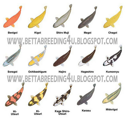 Types of koi fish all about betta picture to pin on for Koi fish color meaning chart
