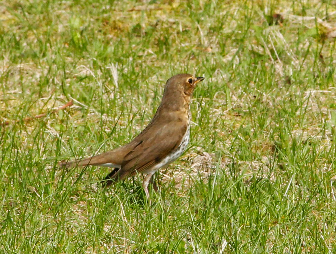 swainson's thrush from behind