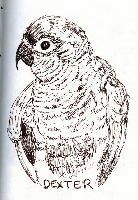 Line drawing of Dexter, the conure. Pen and Ink rendering by ©Ana Tirolese