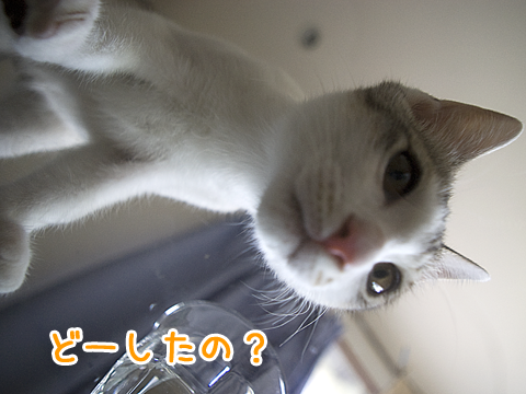 ガラステーブルの上の子猫  cat on glass table