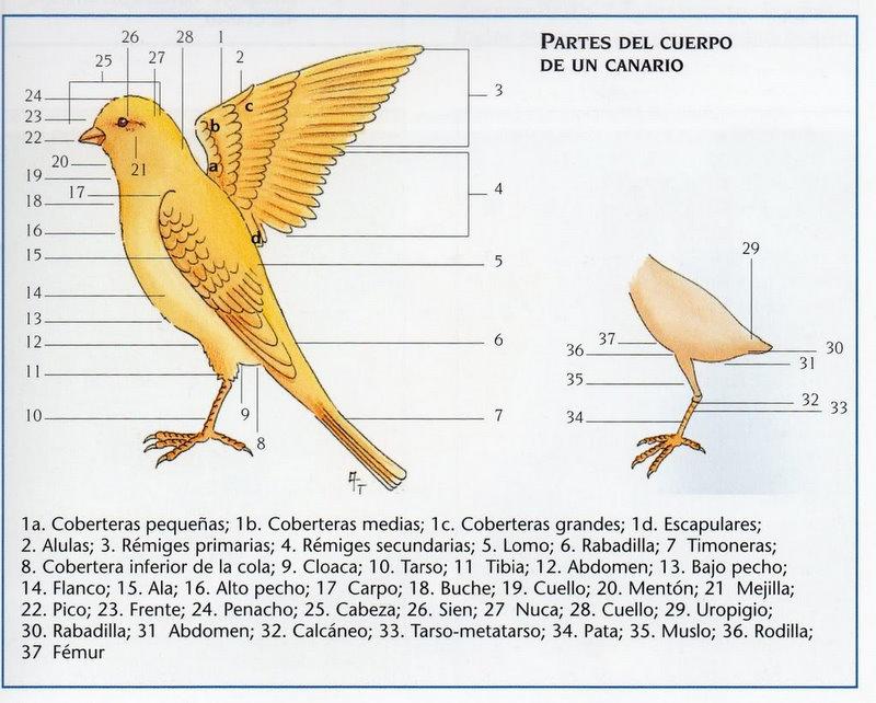 CRIADERO DE CANARIOS CARLOSYROSA33: ANATOMÍA DE EL CANARIO, CRÍA DE ...