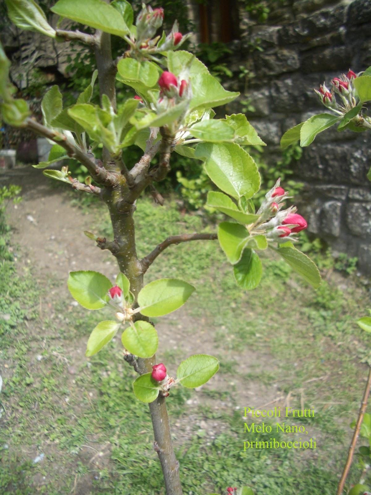 Piccoli frutti melo nano in vaso primi boccioli for Alberi da frutto in vaso
