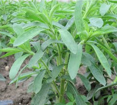 Fresh Leaves of Stevia