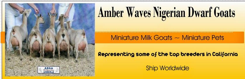 Amber Waves Nigerian Dwarf Goats