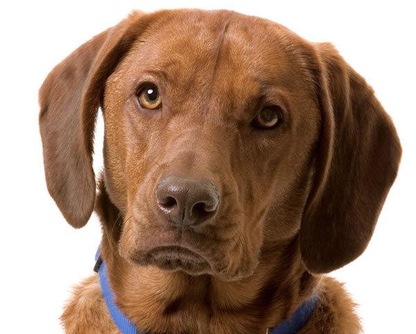 Labrador Retriever Dog Info | Fun Animals Wiki, Videos ...