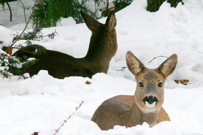 Srnčí zvěř v zimě