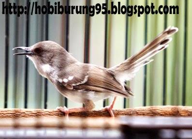 Cara Pemeliharan Burung dan Ikan | Perawatan Burung Ciblek Agar Cepat Gacor