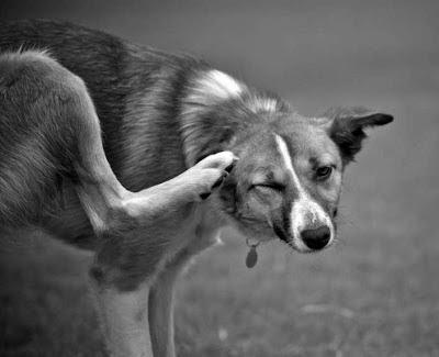 Aprende como eliminar pulgas en los perros y en casa - Pulgas en casa sin animales ...