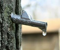 sap dripping from tap