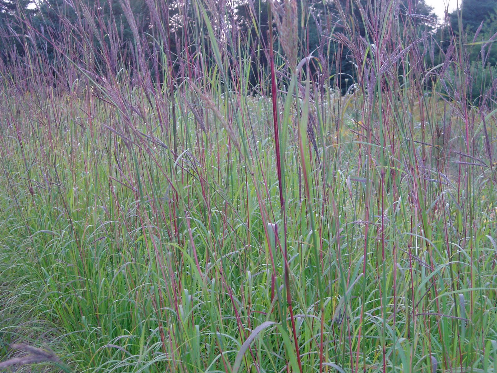 Lovegrass farm andropogon gerardii big bluestem for Large grasses for gardens