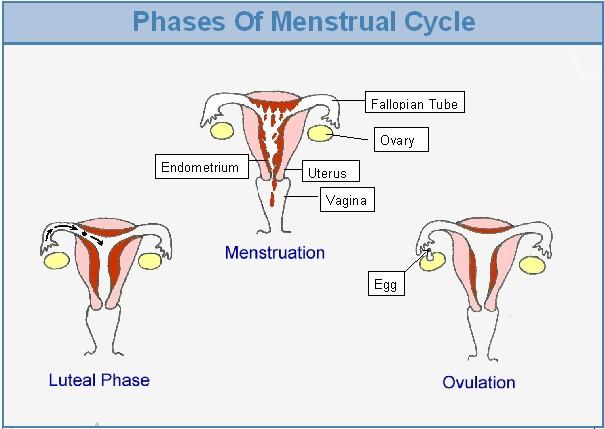 Menstrual Cycle | Menstrual Chart