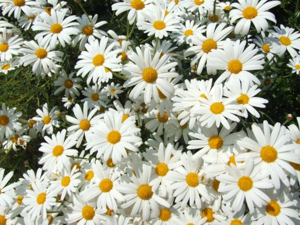 Beautiful Daisy Flowers Collections