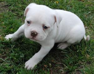 Anakan Anjing Bulldog Amerika
