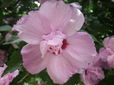 Hibiscus syriacus lavender chiffon Rose of Sharon flower detail by garden muses: a Toronto gardening blog