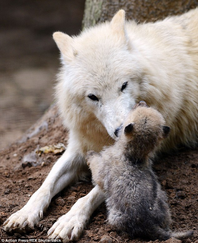 White Wolf Newborn Wolf S Adorable Attempts To Wrestle