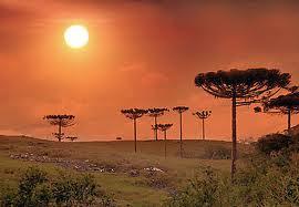 Araucária angustifolia