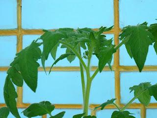 11 мая, зачатки бутонов на рассаде помидора