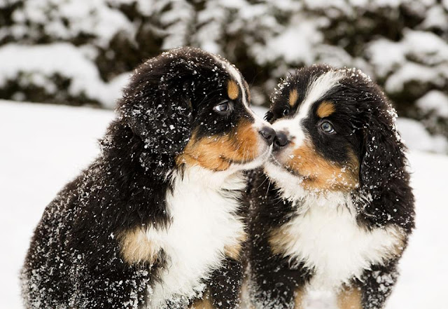 Bernese Mountain puppies playing in the snow image