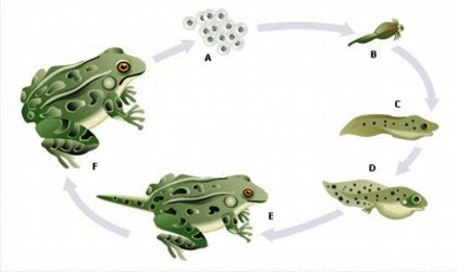 Gambar Metamorfosis Daur Hidup Pada Serangga Dan Amfibi Freewaremini