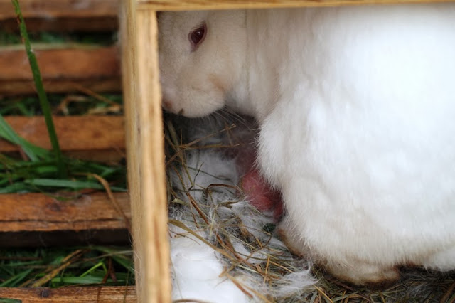 Athena peeks out of her nestbox with a pink newborn bunny