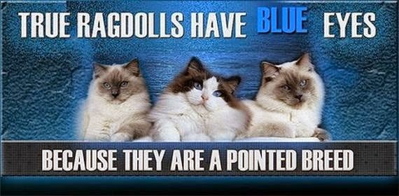 Ragdoll Cats Have BLUE Eyes!