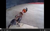 video ayam aduan jenis ayam birma