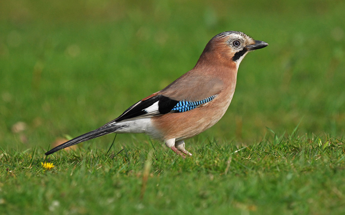 Image result for jay bird image