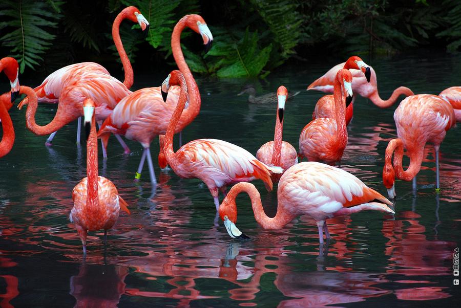 flamingo birds wallpapers asimbaba free software