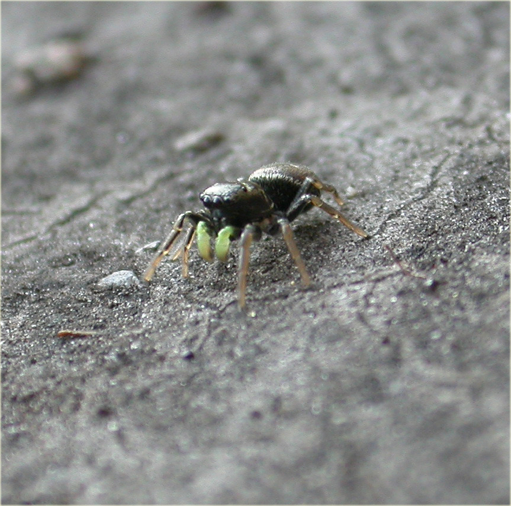 Arachnerds jumping spiders heliophanus sp for Extra mural cemetery brighton