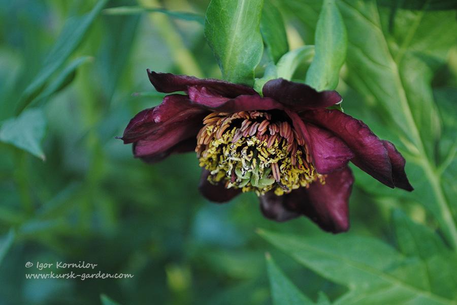 Пион Делавея (Paeonia delavayi)