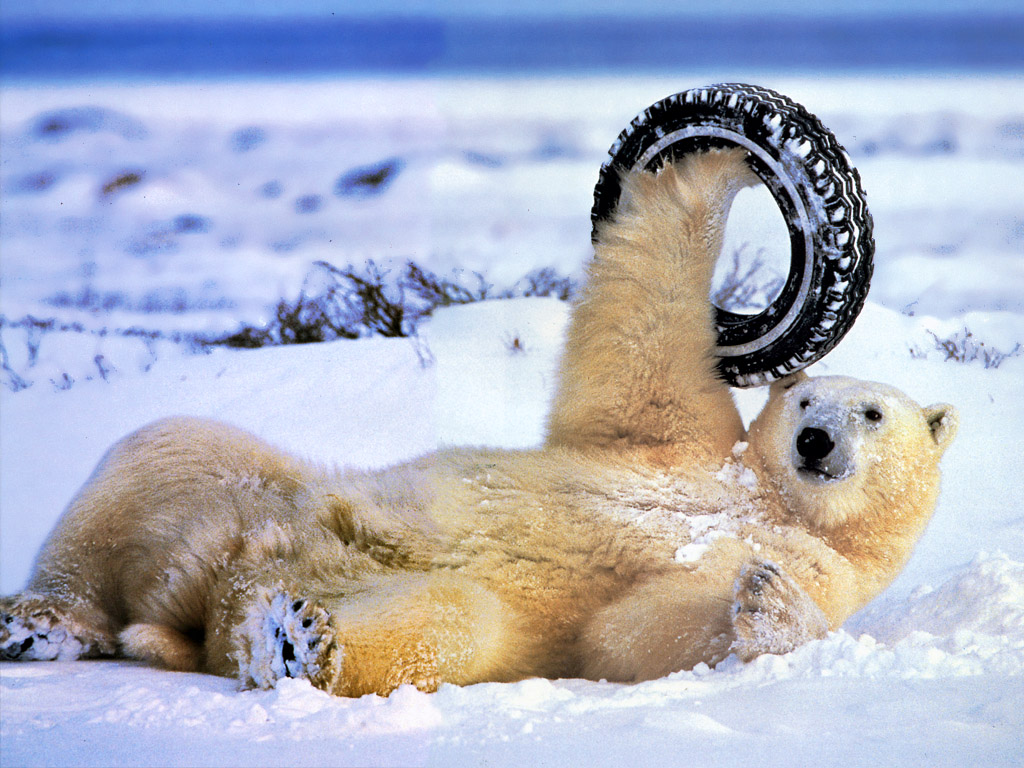 http://3.bp.blogspot.com/--xjIe11QjSM/TwSOwpwcsoI/AAAAAAAAAZI/pS09xKtsvZE/s1600/polar-bear-and-tire.jpg