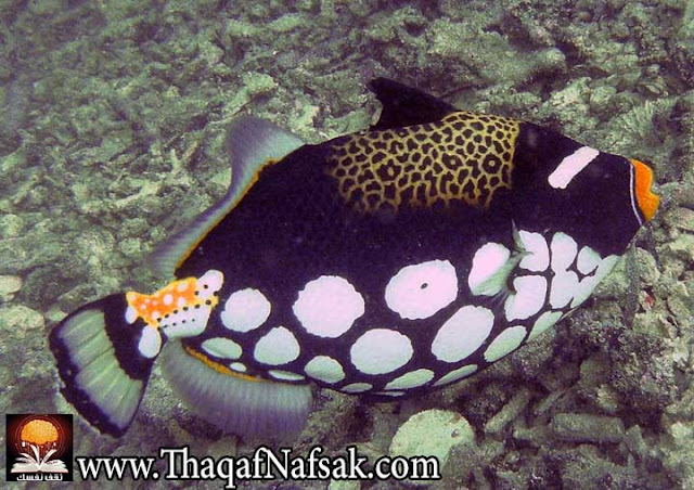 أجمل 10 أسماك ملونة في عالم البحار '' بالصور '' 8.jpg