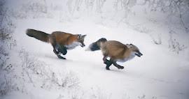 Like a fox on the run
