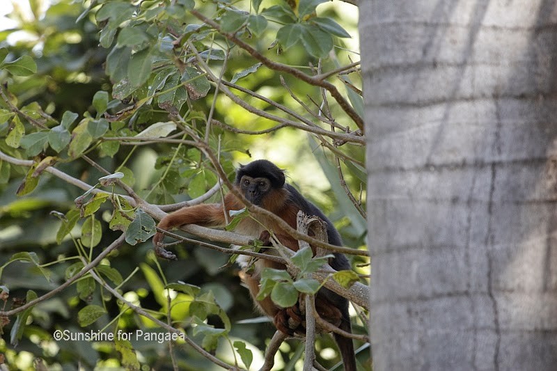 Western Red Colobus in Gambia