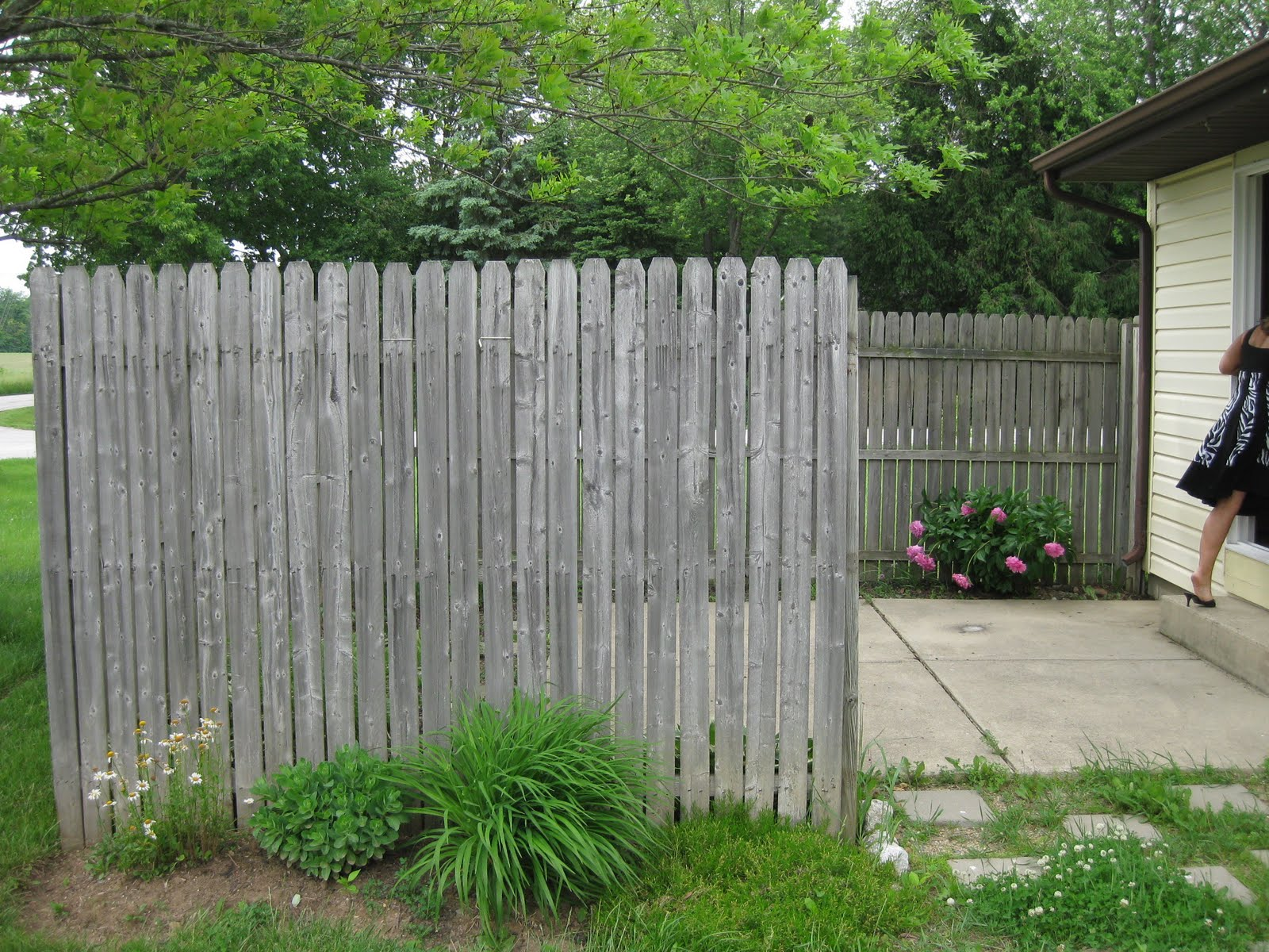Living Privacy Fence Hems And Haws Morning Sunlight A Picket Fence