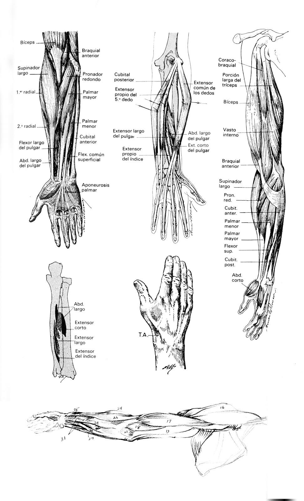 Taller de Arte Juan Herrera: Anatomía Artística - Musculatura del brazo.