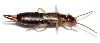 earwigs, extermination, pest control, walla walla
