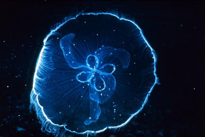 Box jellyfish - photo#20