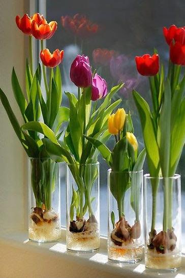Tulpes vandenyje