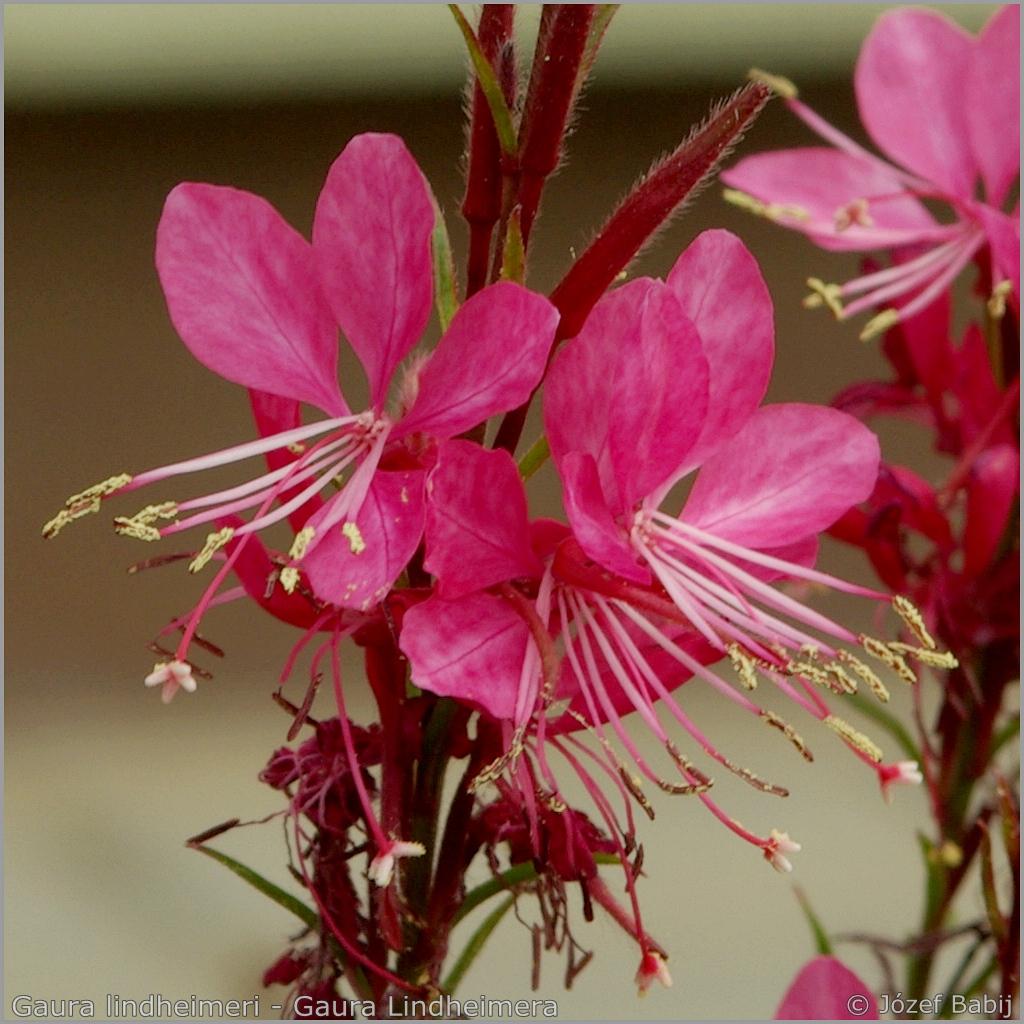 Gaura lindheimeri flowers - Gaura Lindheimera kwiaty