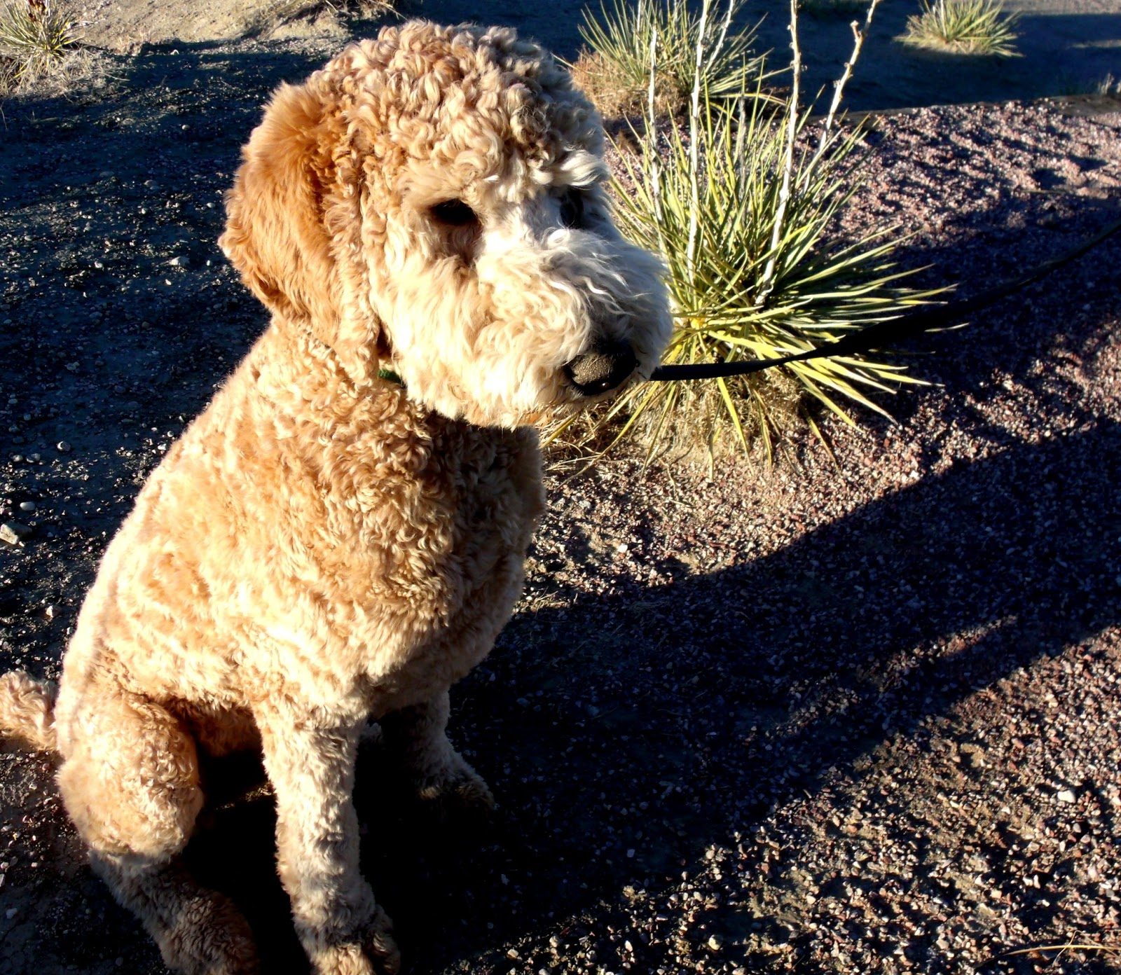 Image Result For Standard Poodles Free To Good Home