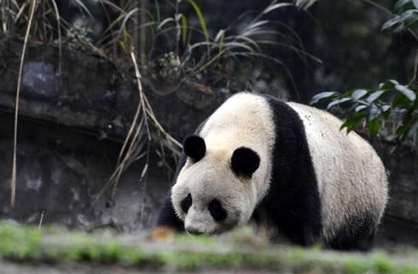New Home For Giant Pandas Xiannu And Bili Animal News