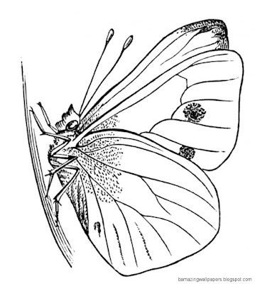Butterfly Chrysalis Coloring Page