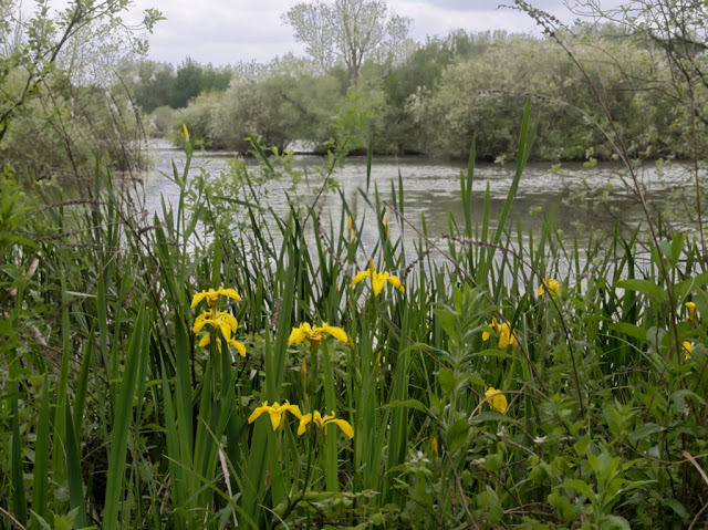 Yellow irises overlooking Dickerson's Pit