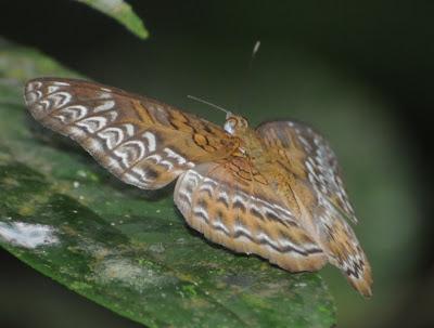 Knight (Lebadea martha malayana) f